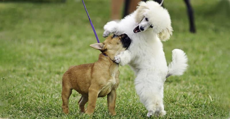 Pudel och Fransk bulldog leker