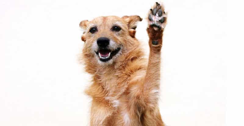 Hund som vinkar med sin tass