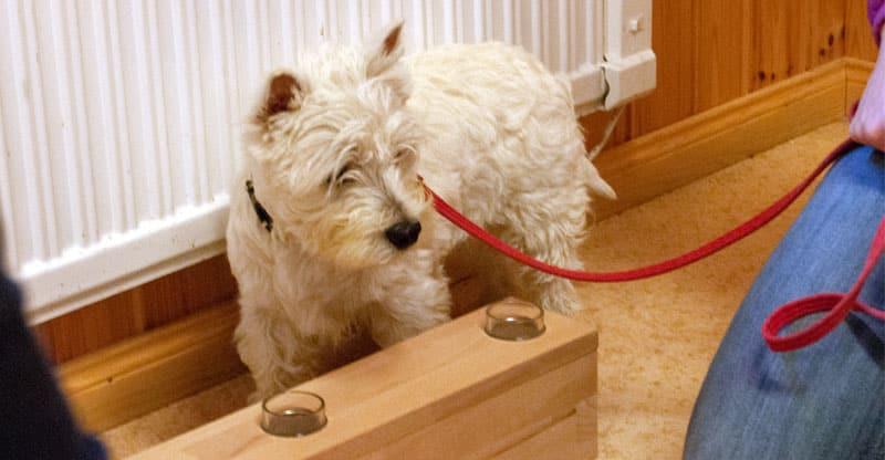 West highland terrier på aktiveringskurs